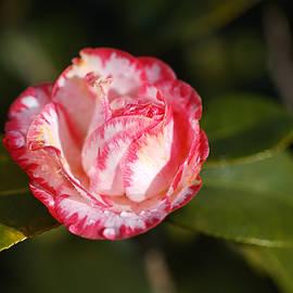 Japonica Camellia  by Joy Watson