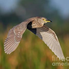 Juvenile Black Crowned Night Heron by Dale Erickson