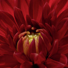 Joyful Dahlia by Linda Howes