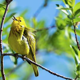 Joyful Yellow Warbler  by Julieta Belmont