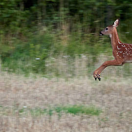 Jump and fly. White-tailed deer by Jouko Lehto