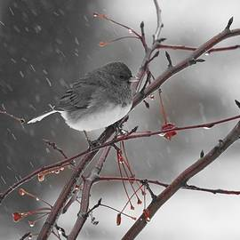 Junco in Wet Snow by Carmen Macuga