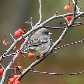 Junco on Crab-apple by Carmen Macuga