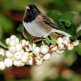 Junco on Snowberries by Donna Kennedy