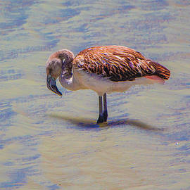 Juvenile Andean Flamingo, Bolivia by Venetia Featherstone-Witty