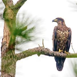Juvenile Bald Eagle by Francis Sullivan