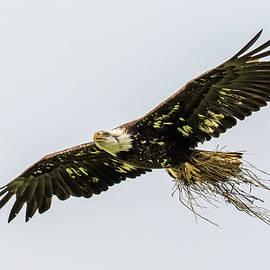 Juvenile Bald Eagle  by Phil Stone