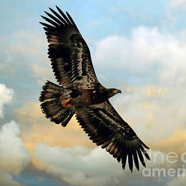 Juvenile Bald Eagle Soars by Steve Gass