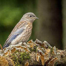 Juvenile Bluebird by Jean Noren