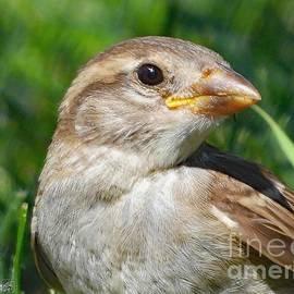 Juvenile Female House Sparrow by J McCombie