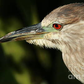 Juvenile Green Heron Portrait by Christiane Schulze Art And Photography