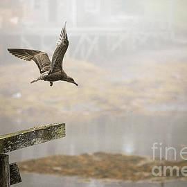 Juvenile Herring Gull  by Diane Diederich