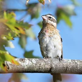 Juvenile Male Rose-Breasted Grosbeak by Judy Tomlinson