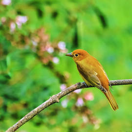 Juvenile Male Summer Tanager South Carolina by Bellesouth Studio