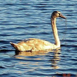 Juvenile Mute Swan by Lyuba Filatova