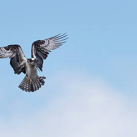 Osprey in the blue sky by Puttaswamy Ravishankar