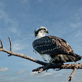 Juvenile Osprey Perched in a Tree by Jeff Goulden