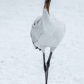 Juvenile Red-Crowned Crane - Japan by Stuart Litoff