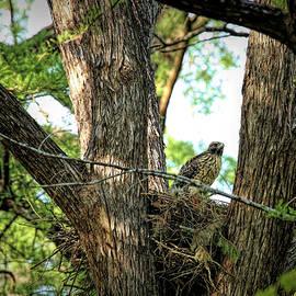 Juvenile Red-shouldered Hawk by Judy Vincent