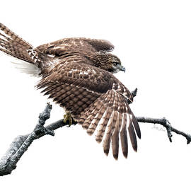 Juvenile Red-Tailed Hawk by Betty Denise