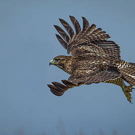 Juvenile Red-tailed Hawk by Linda Villers