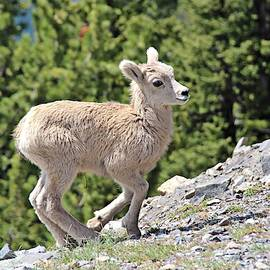 Juvenile Rocky Mountain Bighorn Sheep by Marlin and Laura Hum