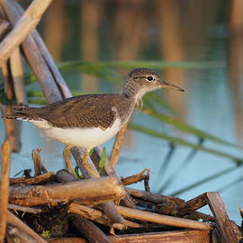 Juvenile Spotted Sandpiper by James Peterson