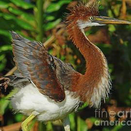 Juvie Tri Color Heron by Larry Nieland