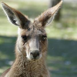 Kangaroo portrait by Maryse Jansen