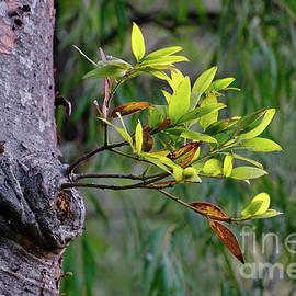 Kauri Pine Renewal by Neil Maclachlan