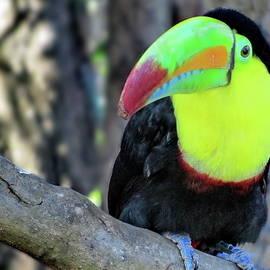 Keel-billed Toucan, Costa Rica by Lyuba Filatova
