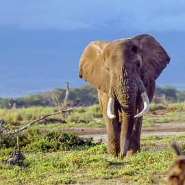 Kenya Bull Elephant by Philip Rispin