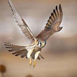 Kestrel Flying Low by Judi Dressler