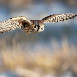 Kestrel on the Wing by Judi Dressler