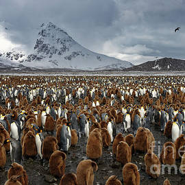 King Penguins Amid Snowy Mountain Landscape on South Georgia Island by Tom Schwabel