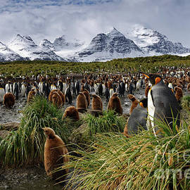 King Penguins and Glaciated Mountains on South Georgia Island by Tom Schwabel
