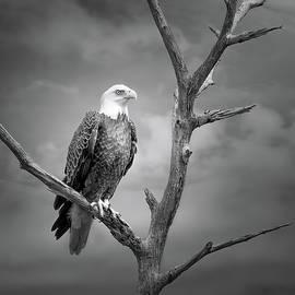 Kingdom of the Bald Eagle by Mark Andrew Thomas