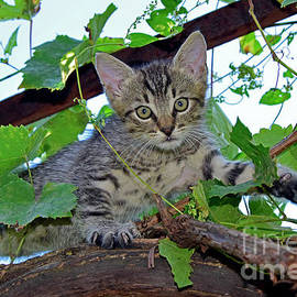 Kitten sneaking on grapevine by Tibor Tivadar Kui