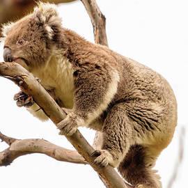 Koala 15 by Werner Padarin