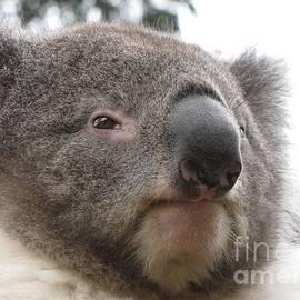 Koala Close Up by World Reflections By Sharon