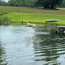 Labrator Dog Jumping Off The Dock. by Jeffrey Koss
