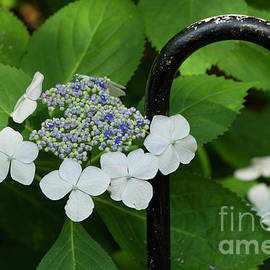 Lacecap Hydrangeas and Iron Arches by Clay Cofer