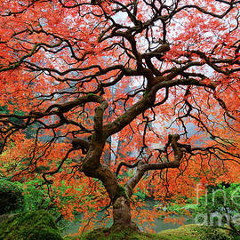 Laceleaf Maple on Foggy Autumn Morning in Portland Japanese Garden by Tom Schwabel