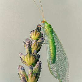 Lacewing by John Fotheringham