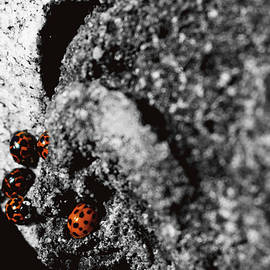 Ladies Ladies Ladies - Landscape Photography - Nature - Ladybugs by Nicole Chisholm