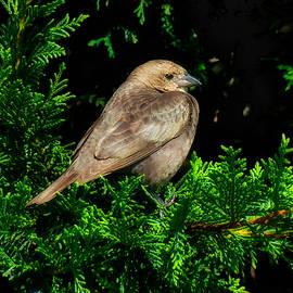 Lady Cowbird by Rick Davis