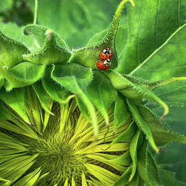 Ladybugs and Sunflower by Dimitry Papkov