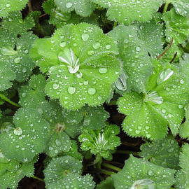 Lady's Mantle by Barbara Ebeling
