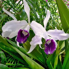 Laelia Purpurata Orchid by Susan Maxwell Schmidt