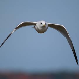 Lake Gull by Tim Tanner